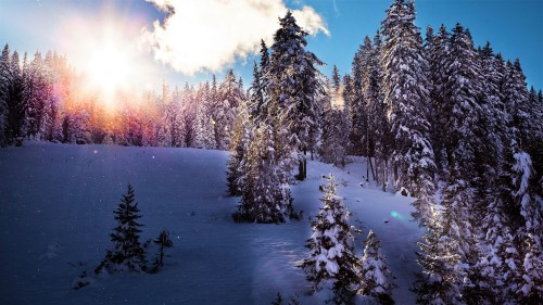 Winter-Time-Pine-Trees-Covered-with-Snow-and-Morning-Sunlight.jpg