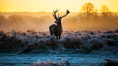 Deer-Sunrise-Nature---Wallpaper.jpg