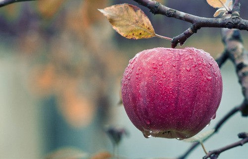 Close-Up-of-Red-Apple-Hanging-on-Tree.jpg