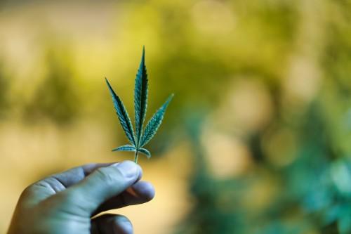 Marijuana-plant-leaf.jpg