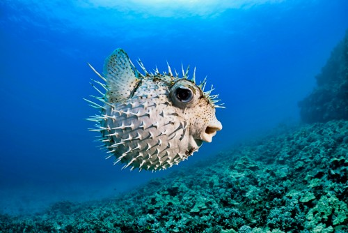 Porcupinefish---White-Pufferfish---Diodon-hystrix-Fish-in-Ocean.jpg