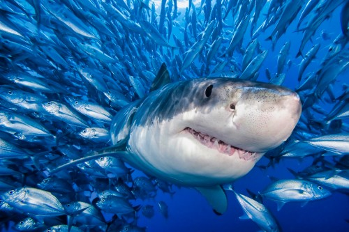Shark-surrounded-by-Fish-in-Ocean.jpg