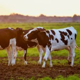 Cattle-Cows-Animals