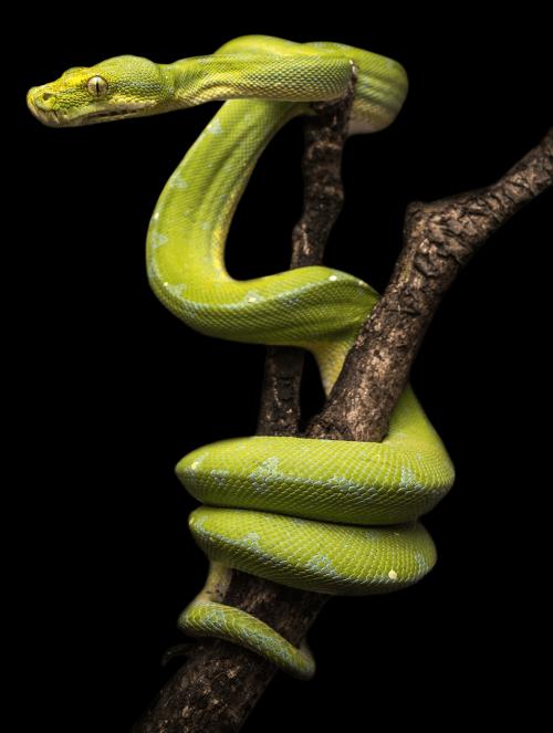 Royal-Python---Green-Snake-on-Brance---Transparent-Background.png